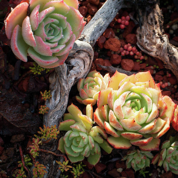 Succulent Poster featuring the photograph Succulents by Catherine Lau