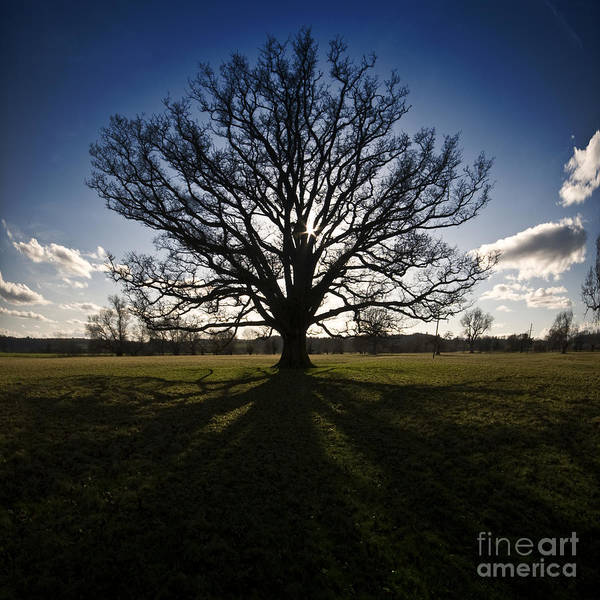 Oak Poster featuring the photograph The Lonely Tree by Angel Ciesniarska