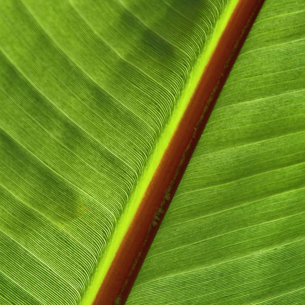 Leaf Poster featuring the photograph Banana Leaf by Heiko Koehrer-Wagner