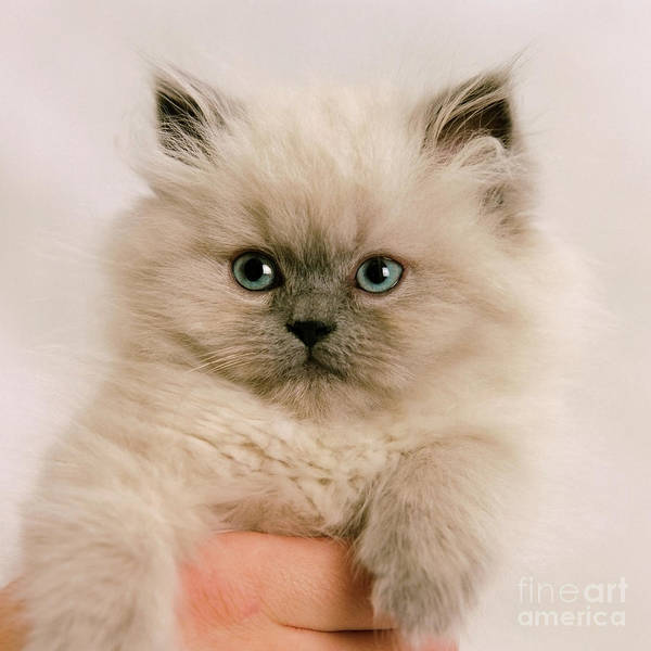 Animal Poster featuring the photograph A Fistfull Of Kitten by Crystal Garner