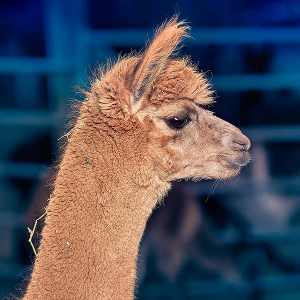 Alpaca Poster featuring the photograph Alpaca Wants To Meet You by TC Morgan