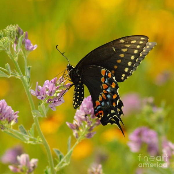 Nature Poster featuring the photograph Black Swallowtail by Robert Frederick
