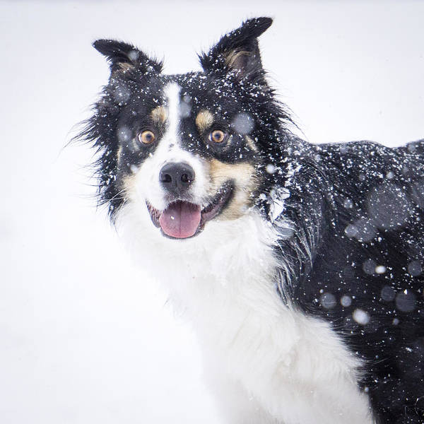 Dog Poster featuring the photograph Border Collie In The Snow by Helix Games Photography