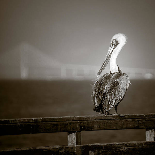 Square Poster featuring the photograph Brown Pelican On St. Simons Island Pier - Bw by Chris Bordeleau