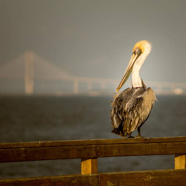 Square Poster featuring the photograph Brown Pelican On St. Simons Island Pier by Chris Bordeleau