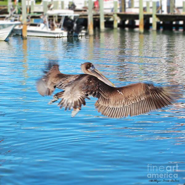 Bird Poster featuring the photograph Brown Pelican Taking Flight by Megan Dirsa-DuBois