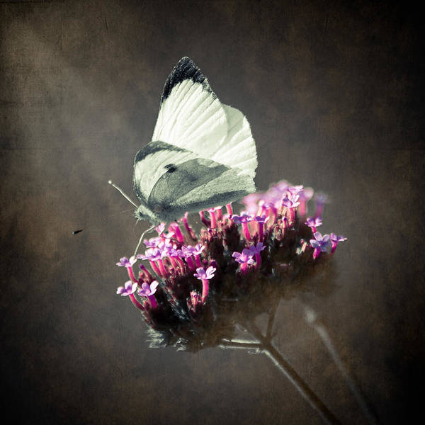 Loriental Poster featuring the photograph Butterfly Spirit #02 by Loriental Photography