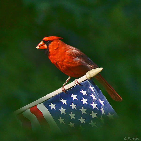 Cardinal Poster featuring the photograph Cardinal On American Flag by Chuck Ferrara