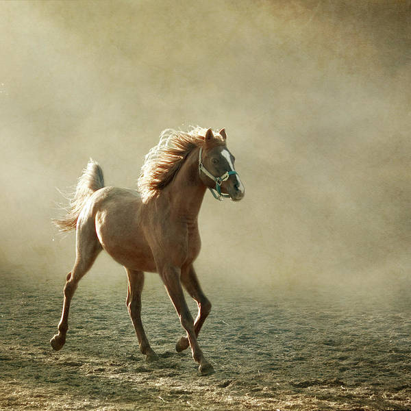 Square Poster featuring the photograph Chestnut Arabian Horse by Christiana Stawski