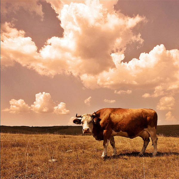Poster featuring the photograph Cow by Vladimir Damjanovic