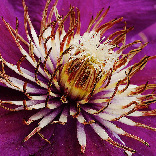 Clematis Poster featuring the photograph Deep Purple Clematis by Michael Peychich