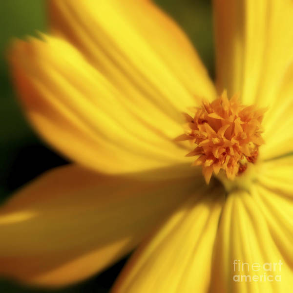 Yellow Poster featuring the photograph Dreamy Coreopsis by Jeannie Burleson