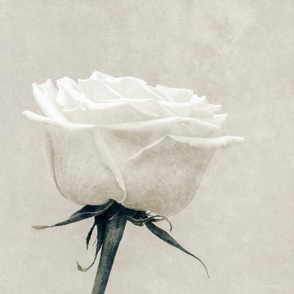 White Poster featuring the photograph Elegance In White by Wim Lanclus