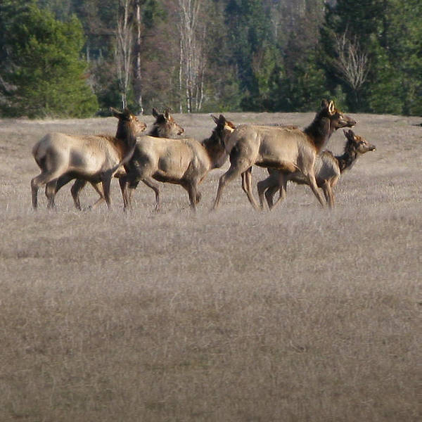 Elk Poster featuring the photograph Elk Herd by Robert Bissett