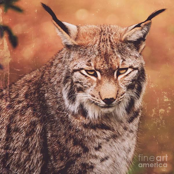 Eurasian Poster featuring the photograph Eurasian Lynx by Andreas Berheide