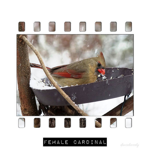 8-10-12 Collection Poster featuring the photograph Female Cardinal by Denise Beverly