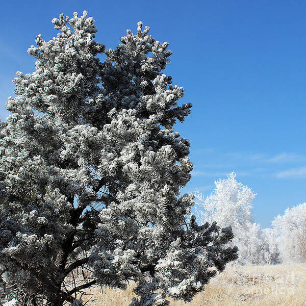 Ice Pine Poster featuring the photograph Fir Full Of Ice by Arizona Lowe
