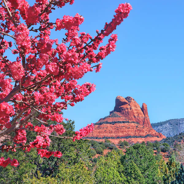 Fruit Blossoms Poster featuring the photograph Flowering Tree - Sedona Red Rock by Nikolyn McDonald