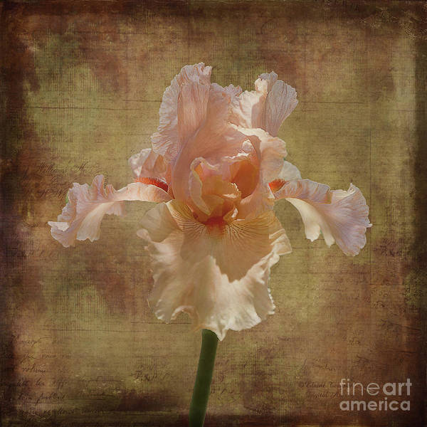 Iris Poster featuring the photograph Frilly Iris by Elaine Teague