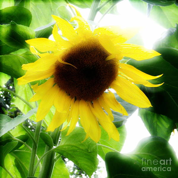 Sunflower Poster featuring the photograph Golden Beauty by Idaho Scenic Images Linda Lantzy