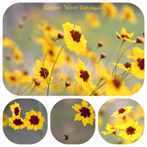 Coreopsis Poster featuring the photograph Golden Wave Collage by Amy Steeples