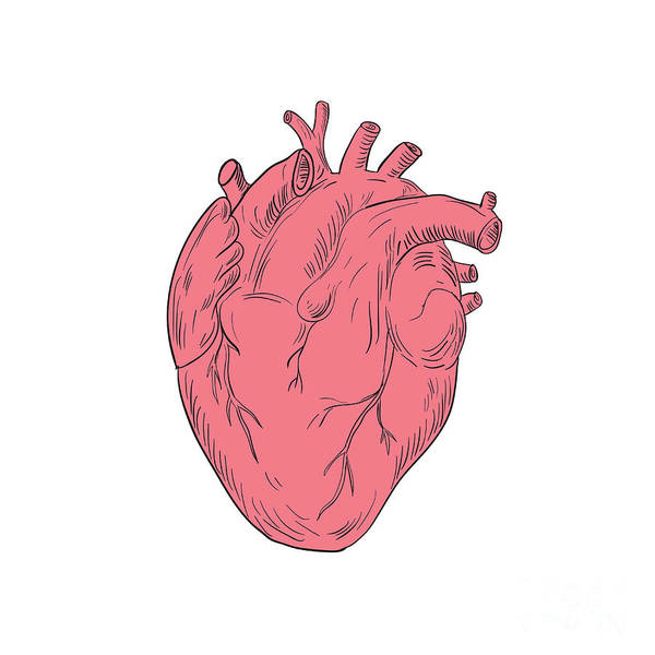 Human Heart Anatomy Drawing Poster by Aloysius Patrimonio