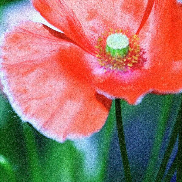Macro Poster featuring the photograph Icelandic Poppy by Bonnie Bruno