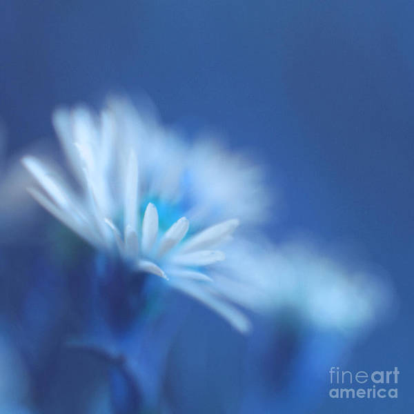 Daisy Poster featuring the photograph Innocence 11b by Variance Collections