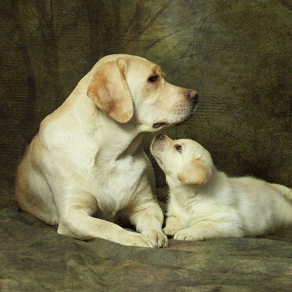 Square Poster featuring the photograph Labrador Dog Breed With Her Puppy by Sergey Ryumin