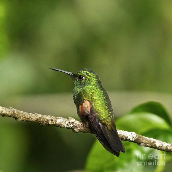 Hummingbird Poster featuring the photograph Little Hummingbird by Heiko Koehrer-Wagner