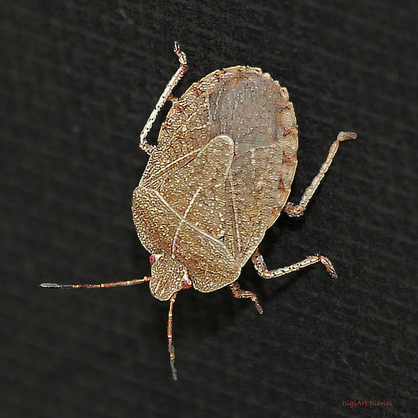 Brown Marmorated Stink Bug Poster featuring the digital art Little Stinker by DigiArt Diaries by Vicky B Fuller