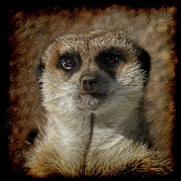Meerkat Poster featuring the photograph Meerkat 4 by Ernie Echols