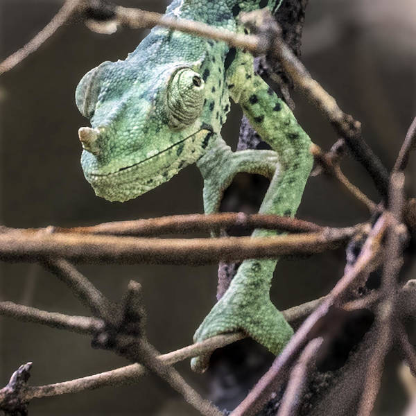 Reptile Poster featuring the photograph Mellers Chameleon Portrait 3 by William Bitman