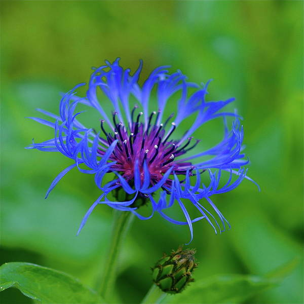 Mountain Cornflower Poster featuring the photograph Mountain Cornflower by Byron Varvarigos