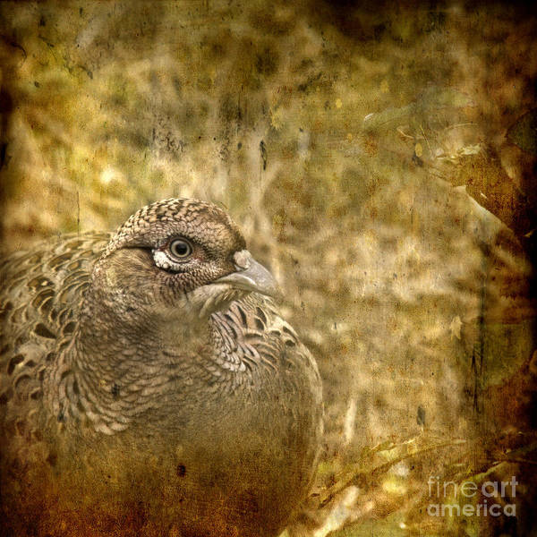 Pheasant Poster featuring the photograph Mrs Pheasant by Angel Ciesniarska