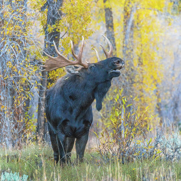 Proud Poster featuring the photograph One Proud Bull Moose by Yeates Photography