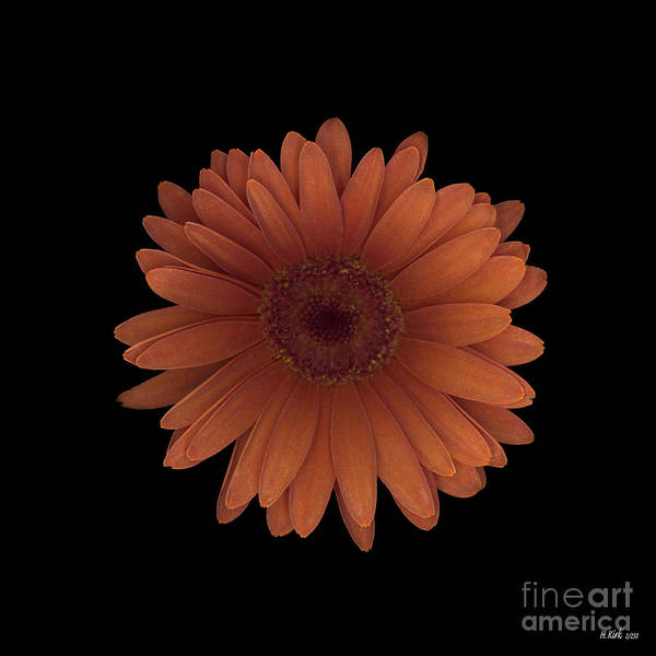 Orange Poster featuring the photograph Orange Daisy Front by Heather Kirk
