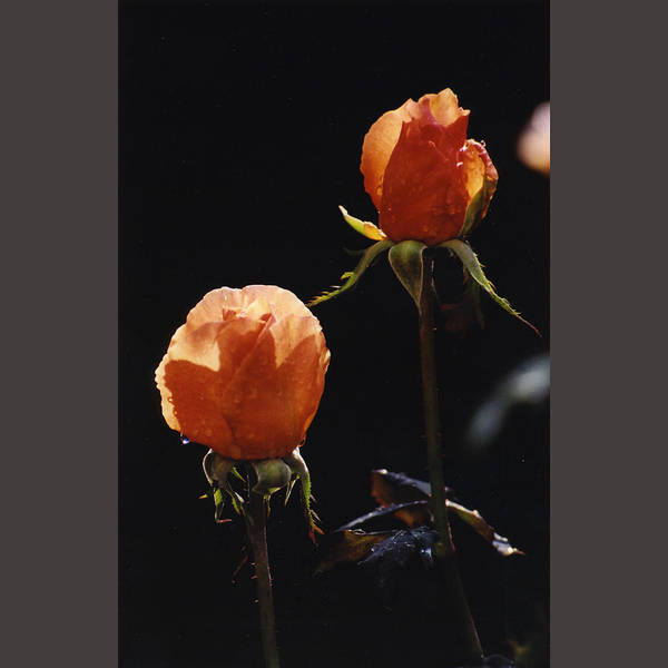 Orange Flowers Just Opening Poster featuring the photograph Orange Roses In Sun With Water Droplets by Ron Javorsky