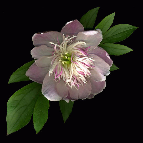 Scanography Poster featuring the photograph Peony Full by Deborah J Humphries