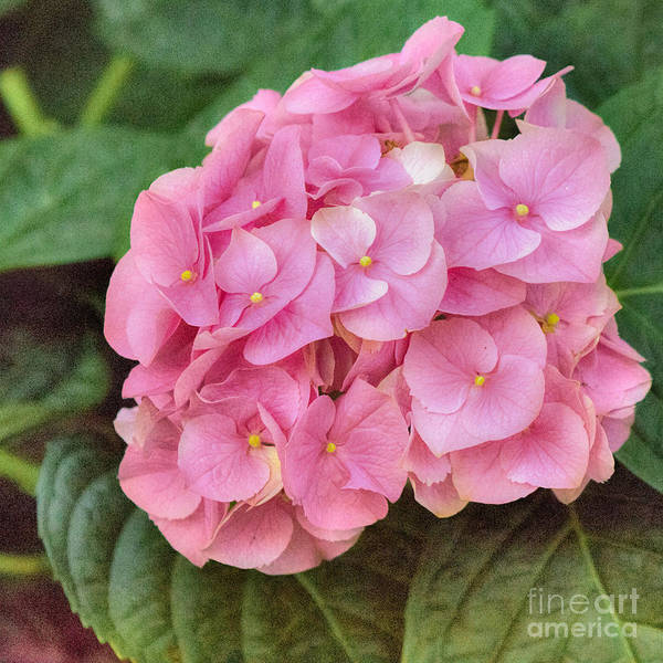 Flower Poster featuring the photograph Pink Hydrangea by Susan Grube