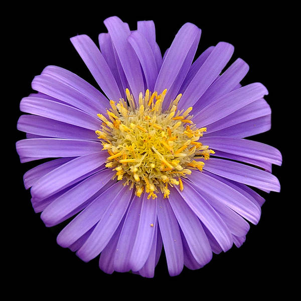 Flower Poster featuring the photograph Purple Aster by Neil Doren