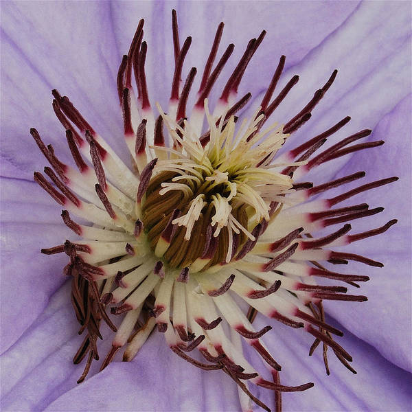Clematis Poster featuring the photograph Purple Clematis by Michael Peychich