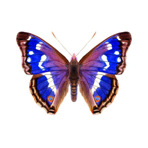 Poster featuring the painting Purple Emperor Butterfly by Alison Langridge