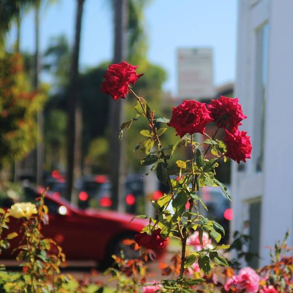 Red Poster featuring the photograph Red Coronado Roses by Valerie Loop