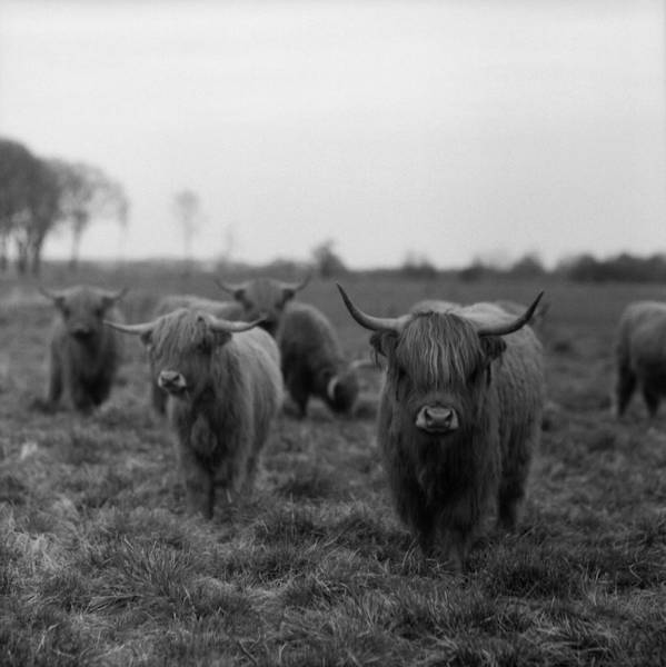 Square Poster featuring the photograph Scottish Highland Cattle On Field by Stephan Ohlsen