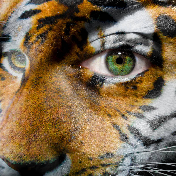 siberian Tiger Poster featuring the photograph Siberian Man by Semmick Photo