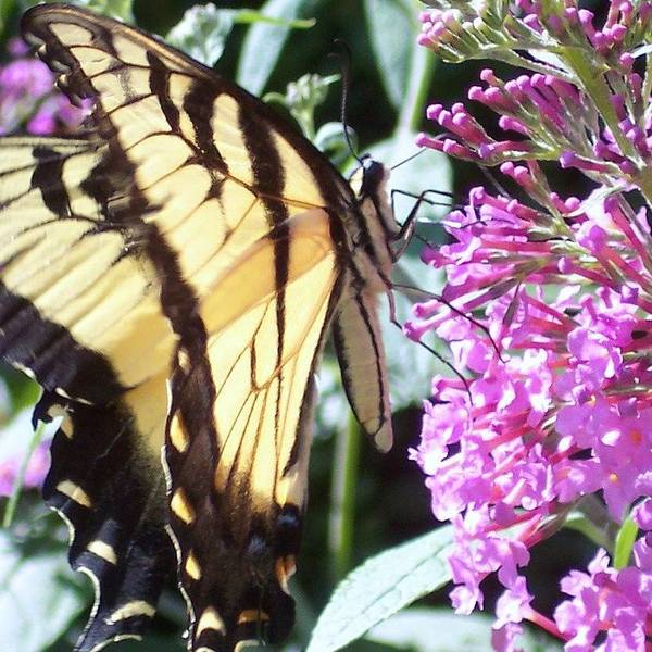 Swallowtail Butterfly Yellow Purple Flower Poster featuring the photograph Swallowtail by Anna Villarreal Garbis