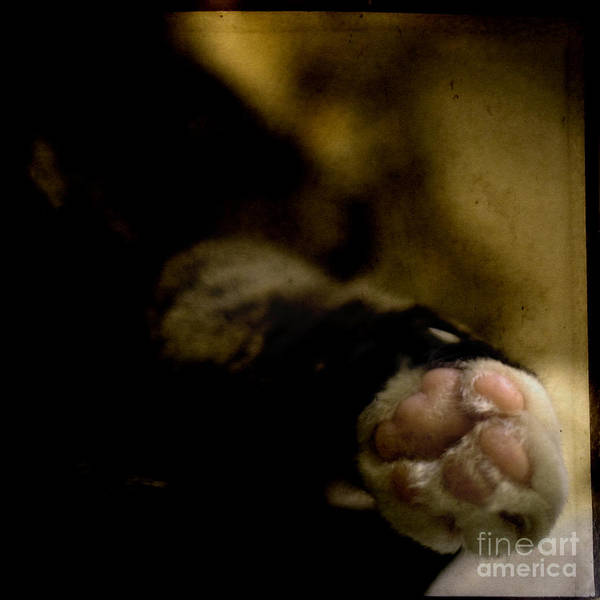 Cat Poster featuring the photograph The Paw by Angel Ciesniarska