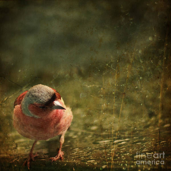 Chaffinch Poster featuring the photograph The Sad Chaffinch by Angel Ciesniarska