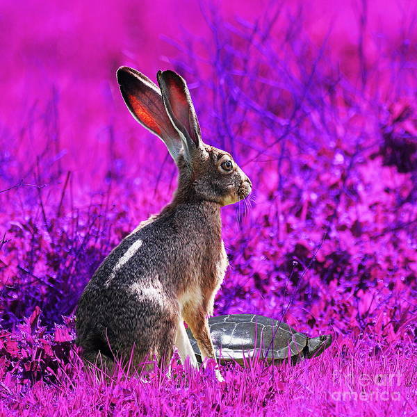 Year Of The Rabbit Poster featuring the photograph The Tortoise And The Hare . Magenta Square by Wingsdomain Art and Photography